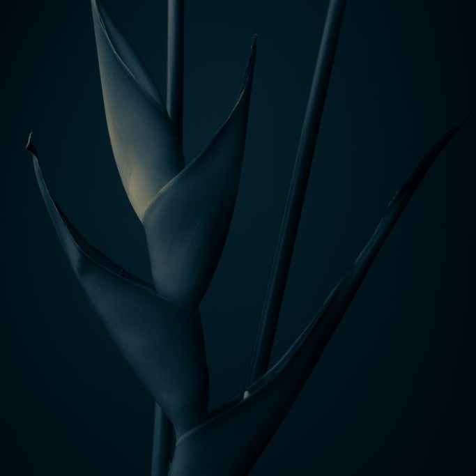 Heliconia blue-1