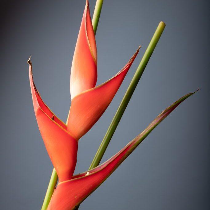 Heliconia flash-5
