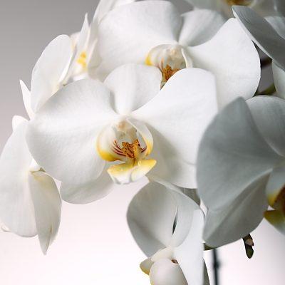 orchid closeup