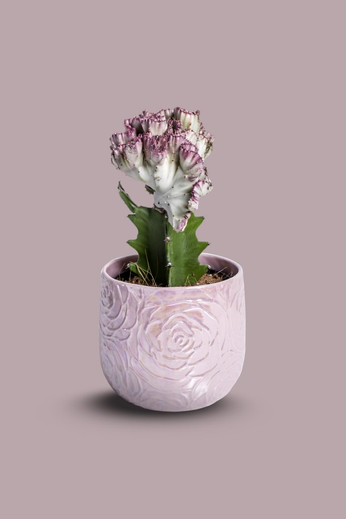 product photo cactus pink background