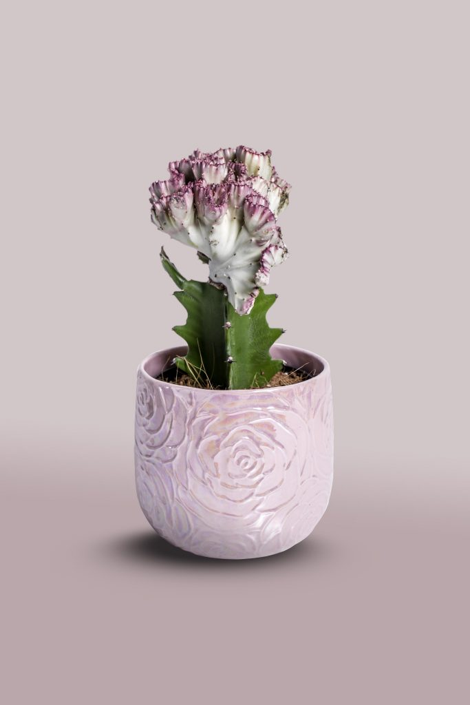 product photo cactus pink gradient