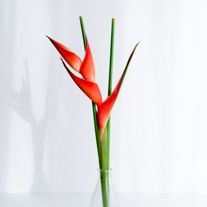 Heliconia natural-2