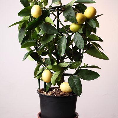 lemon tree studio