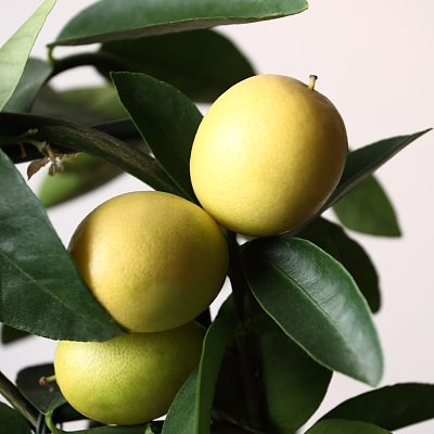 lemon tree closeup