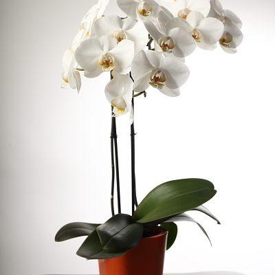orchid studio