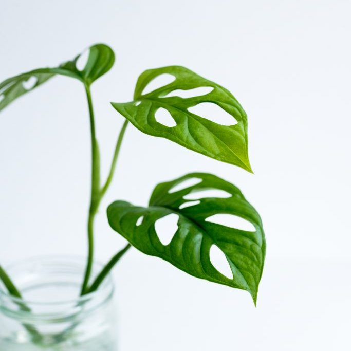 Monstera in water-11