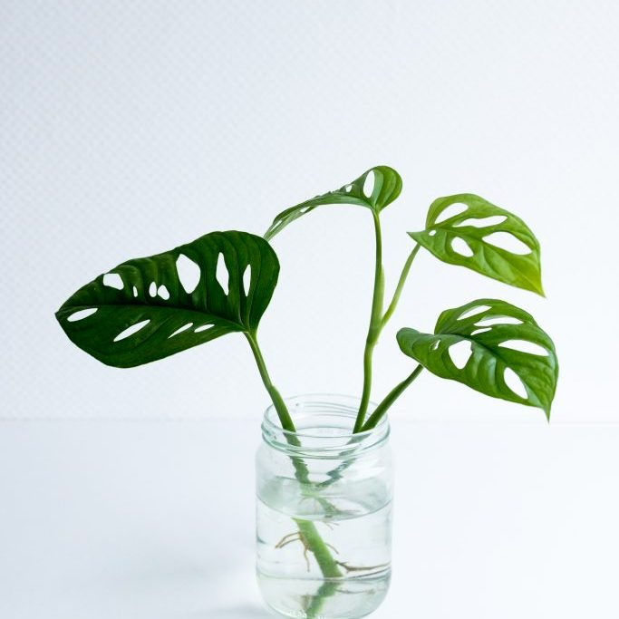 Monstera in water-8